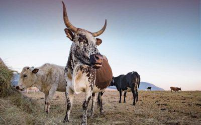 Climate Transition Risk Analyst Brief: Colombian Cattle